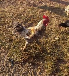 Vendo esses frangos e 4 patas