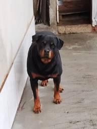 Rottweiler Vendo ou troco