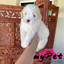Poodle toy macho com pedigree! Parcelamos se