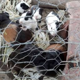 Porquinho da india -  preás filhotes e adultos