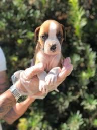 Boxer -Baby