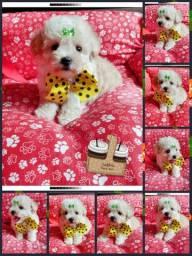 Lindíssimo Filhote Macho Raça Poodle Toy