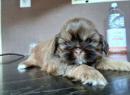 Shih tzu figado/chocolate