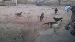 Vendo Aves Domesticas
