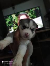 Lindos Filhotes husky siberiano