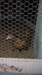 Galo e galinha