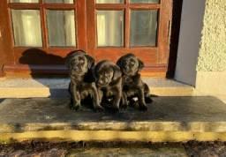 Labrador, machinhos e fêmeas com benefícios!
