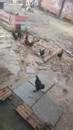 Vendo galinha, galo e Pinto