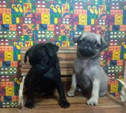 Lindos Pug mini filhotes com 55 dias vacinados