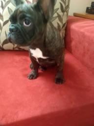 Vendo - Bulldog francês