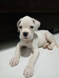Boxer albino (raça pura )