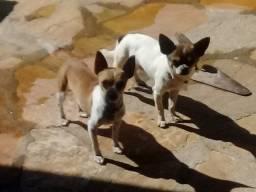 Pinscher com chihuahua Anápolis