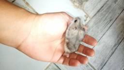 Hamster anão russo R$20,00