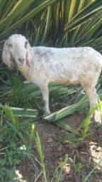 Vende-se Cabra Anglo Nubiana