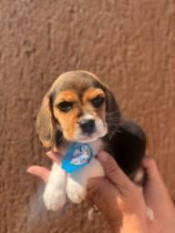 Filhotes de Beagle machos e fêmeas disponíveis