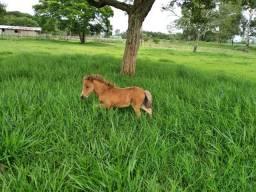 MINI PONEI !!!! Muito pequeno !!!!! Animal de Jardim