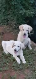 Labrador Macho 5 x 100 sem juros