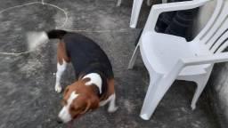 Beagle macho procura namorada