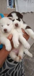 Wolly Husky Siberiano Olhos azuis pronta entrega em ate 12. x