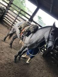 Cavalo Crioulo puro