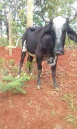Excelente vacas de leite