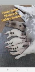 Vendo lindos bulldog francês