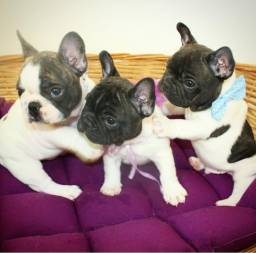 Bulldog francês top bem curto femeas disponíveis