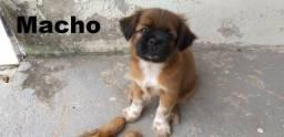 Vendo Filhotes Shih Tzu com Chow chow