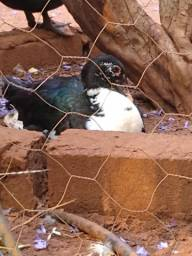 Patos lote ou unitário