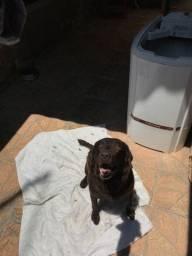 Labrador rotriever