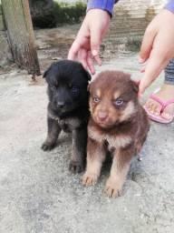 Filhote com genética de Husky Siberiano+Rottweiler+Pastor alemão