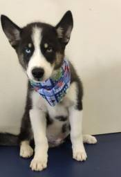 Vende-se filhote de Husky Siberiano
