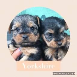 Yorkshire com pedigree e microchip em até 18x