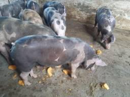 Porcos pietrain