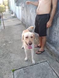 Um cachorro labrador
