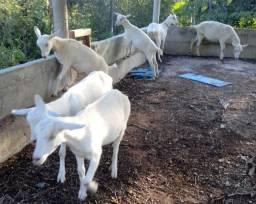 Cabras e Cabritas SAANEN