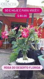 Rosa do deserto plantas florida