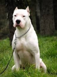 Agente Pit Bull moster