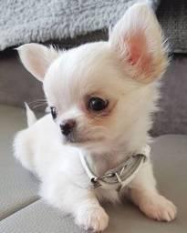 Chihuahua fêmeas e machinhos com garantias em contrato!!