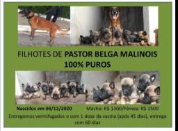 Filhote de Pastor Belga Malinois
