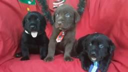 Labradores (Disponíveis)