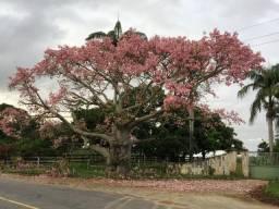 Mudas de Paineira rosa (Chorisia speciosa) ou Barriguda