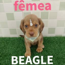 Beagle com qualidade você encontra aqui na MK