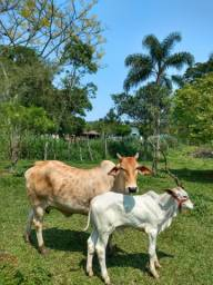 Vendo vaca com terneiro