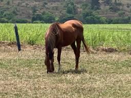 Cavalo argentino inteiro PSI registrado reprodutor