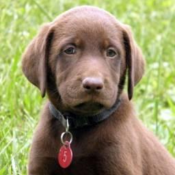 Labrador chocolate/amarelo/preto, machos e fêmeas com garantias