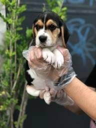 beagle, compre na maior rede de filhotes de raça!!