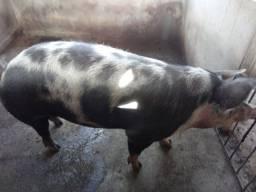 Vendo um porco com 14 meses