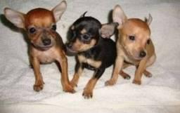 Filhotes de pinscher n1 fêmeas,R$ 470. contato *