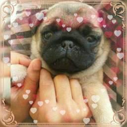 Lindos bebês de pug com pedigree ac cartão